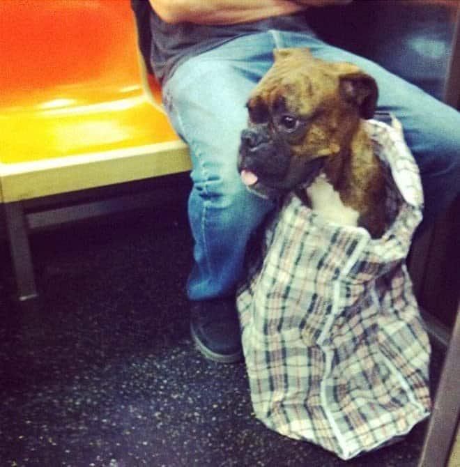 nyc subway dog14