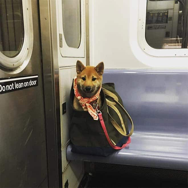 nyc subway dog15