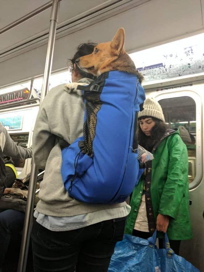 nyc subway dog18